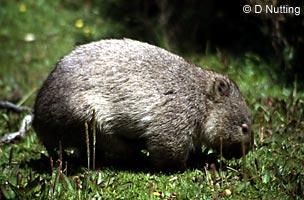 australisches Tier